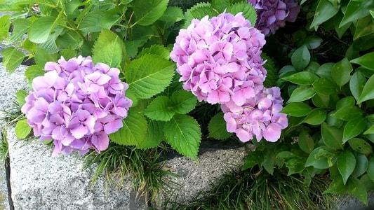 コメダ珈琲店 本店の近くに咲いていた紫陽花