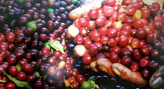 採りたてのコーヒーの実