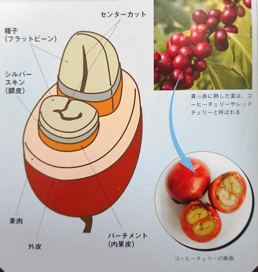 コーヒーチェリーの内部構造
