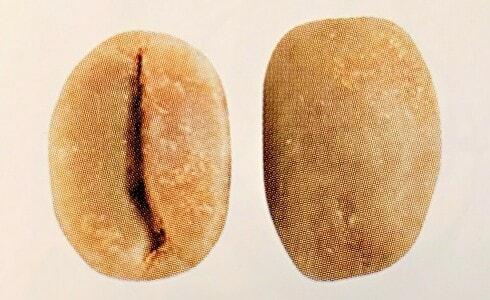 カトゥーラの豆の形