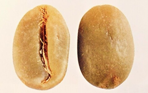 ティピカの豆の形