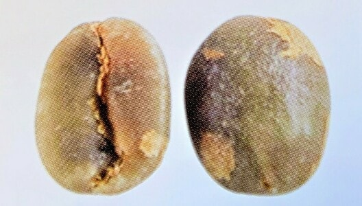 ビジャサルチの豆の形
