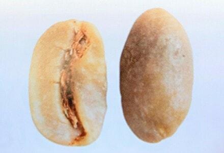 マラゴジッペの豆の形