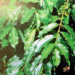 アラビカ種の細長い葉っぱ