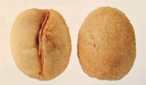 ブルボンの豆の形