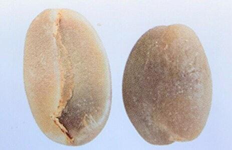 パカマラの豆の形