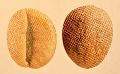 カネフォラ種、ロブスタ種の豆の形