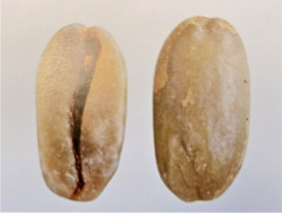ゲイシャの豆の形